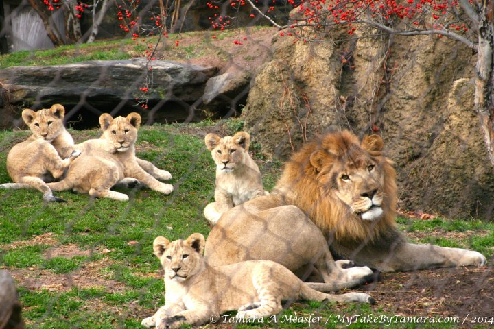A great shot of Dad and the four cubs